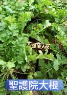 京の里山ゾーンの聖護院大根