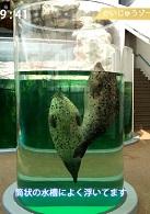 水中に浮かんでいるゴマフアザラシ