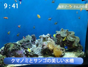 クマノミとサンゴの美しい水槽