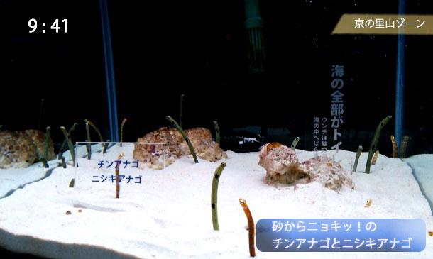 京都水族館のチンアナゴのニシキアナゴ