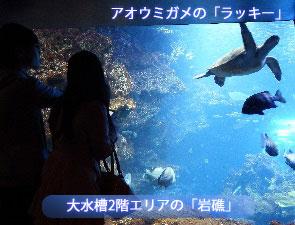 アオウミガメのラッキー