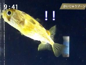 京都水族館のハリセンボン