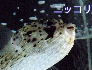笑っているように見える京都水族館のハリセンボン