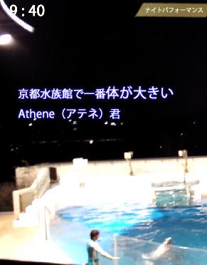 京都水族館のイルカ、アテネ君