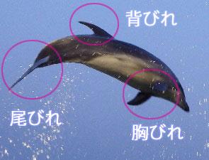 イルカの尾びれや胸びれ