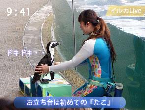 お立ち台に上るケープペンギン