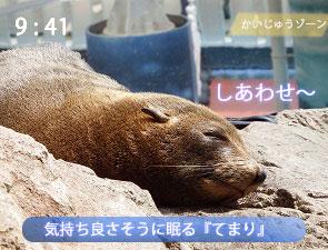 岩の上で寝るオットセイ