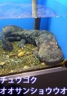 水槽に入っているチュウゴクオオサンショウウオ