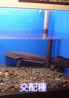 水槽に入っているチュウゴクオオサンショウウオとオオサンショウウオの交配種