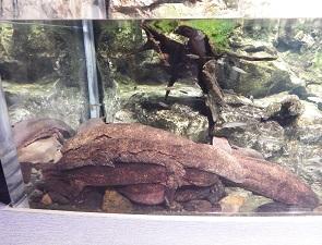 京都水族館で一番大きいオオサンショウウオ