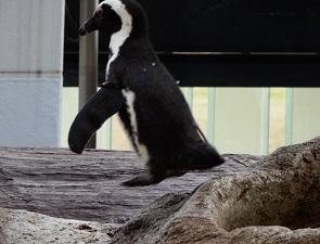 メスのペンギン、あね