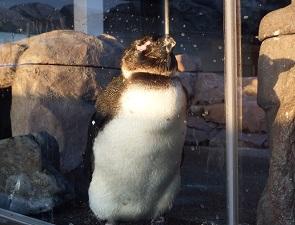 オスのペンギン、おがわ
