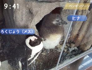 成長したペンギンの雛