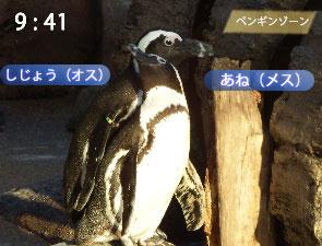 イチャイチャするペンギン