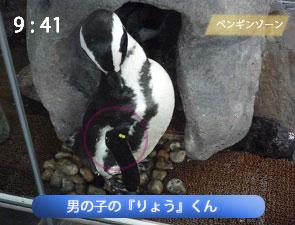 男のペンギンのりょうくん
