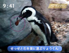 石を運んで巣を作るペンギン