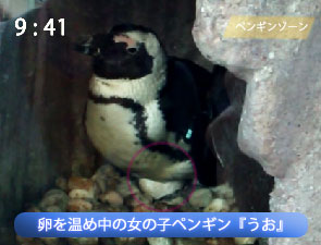 卵を温めているペンギン