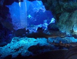大水槽のドチザメ