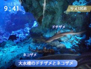 大水槽のドチザメとネコザメ