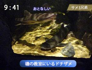磯の教室のドチザメ
