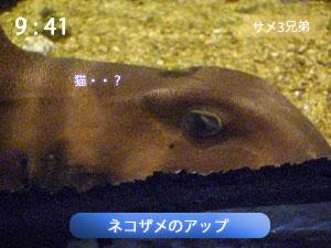 ネコザメの顔
