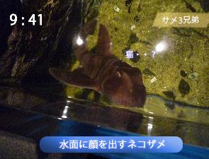 上から見たネコザメ