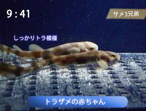 トラザメの赤ちゃん