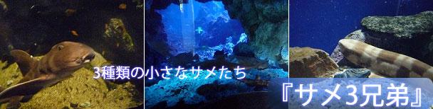 京都水族館の3種類のサメ