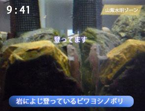岩を登るビワヨシノボリ