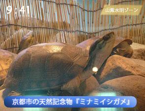 京都水族館のミナミイシガメ