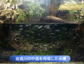 由良川の中流を再現した水槽