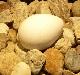 京都水族館のペンギンの卵